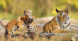 Baby tigers fights