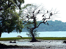 220px India Goa Chapora River Colony of Birds