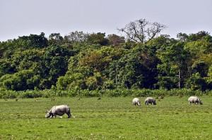 Assam rhinos