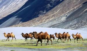 Bactrian camels   Nubra