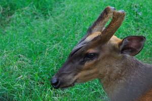 Barking Deer   Kolkata