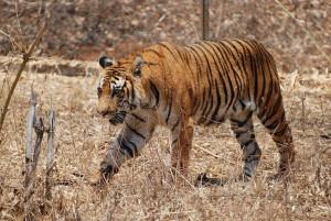 Bengal Tiger Karnataka