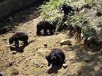 Black bears in vandalur zoo