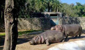 Chattbir zoo hippo