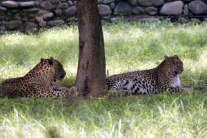 Chattbir zoo leopards