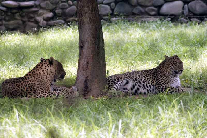 Chattbir_zoo_leopards