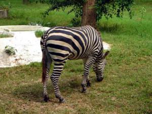 Chattbir zoo zebra