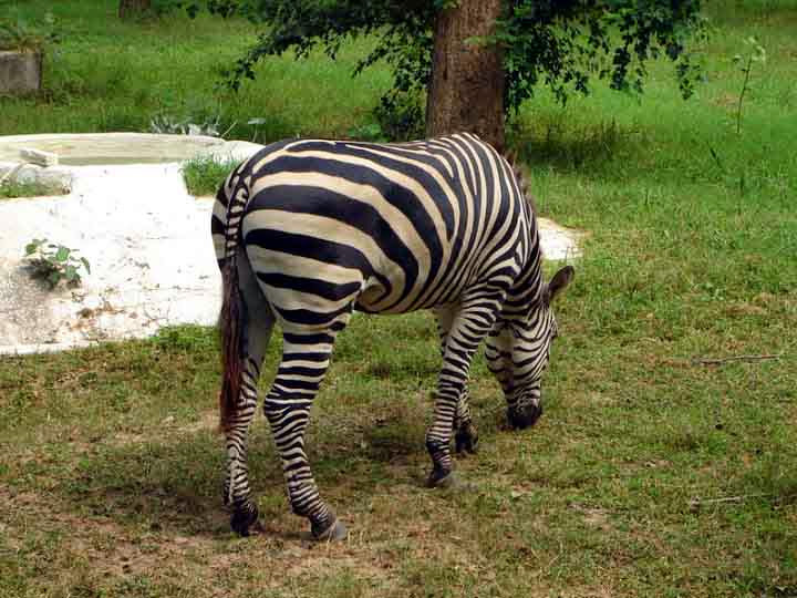 Chattbir_zoo_zebra