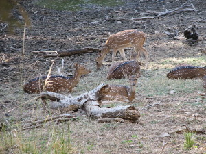 Chital Deer Ranthambore