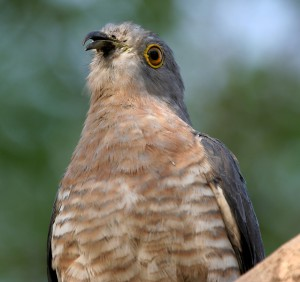 Common Hawk Cuckoo in Hyderabad
