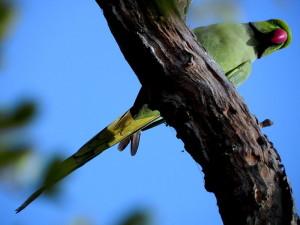Common Parakeet at Keoladeo National Park
