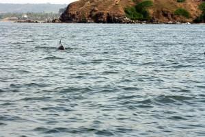 Dolphins at baga