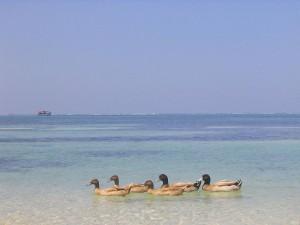 Ducks on a beach at Kavaratti Lakshadweep