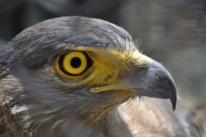 Falcon   Kolkata