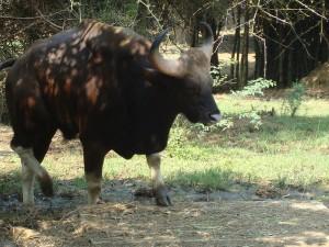 Gaur Bison in Vandaloor Zoo