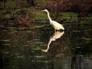 Great Egret at Keoladeo Ghana National Park Bharatpur India