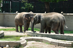 Indian Elephants   Kolkata