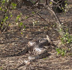 Indian Python under a Tree