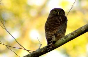 Jungle owl in manas
