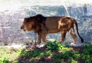Lion at Chattbir