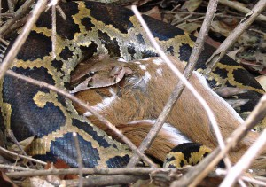 MNP Python at Moyer