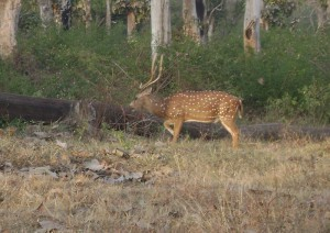 MNP spotted deer buck