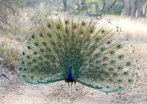 Male Peacock in courtship display at Ranthambhore Tiger Reserve