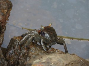 Mangrove crab 01