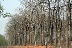 Mudumalai forest after fire