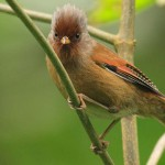 Namdapha_Rusty-fronted-Barwing-Actinodura-egertoni-in-Eaglenest-India-Namdapha1