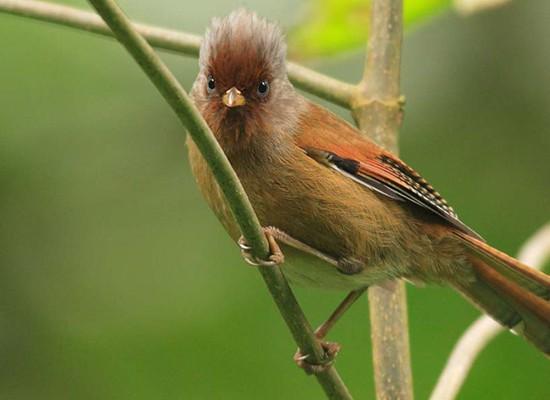 Namdapha Rusty fronted Barwing Actinodura egertoni in Eaglenest India Namdapha1