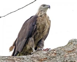 Pallass Fish Eagle