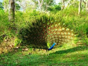 Peacock at Mudumalai C