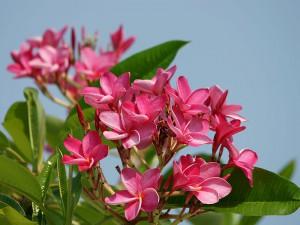 Plumeria rubra flowers