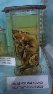 Preserved young goat with 8 legs Indian Museum Kolkata