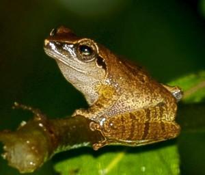 Pseudophilautus amboli c