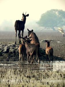 Sambhars are common sight at Keoladeo Ghana National Park Bharatpur India