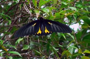 Southern Birdwing   Sohini Vanjari