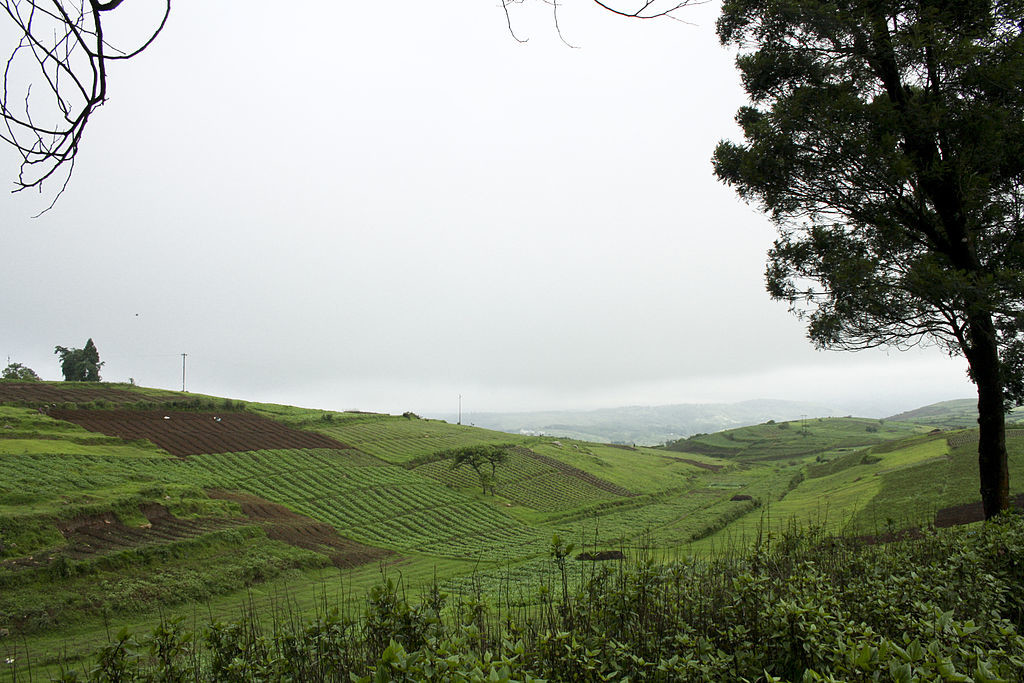 Tea_Plantation_Agriculture_in_Meghalaya_India_on_the_way_to_Shillong
