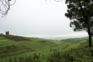 Tea Plantation Agriculture in Meghalaya India on the way to Shillong