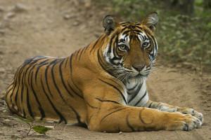 Tiger from Ranthanbore Sawai Madhopur Rajasthan India 12.10.2014