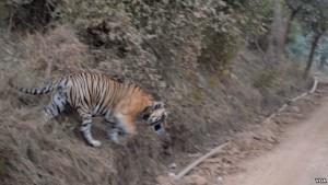 Tigers in the Sariska Tiger Reserve