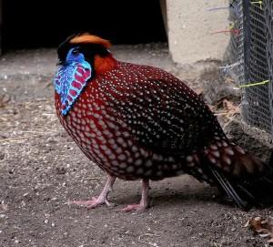 Tragopan bird