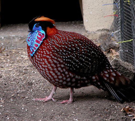 Tragopan_bird