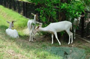 White Fallow Deers   Kolkata