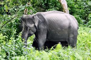 Wild Elephant at nameri National Park
