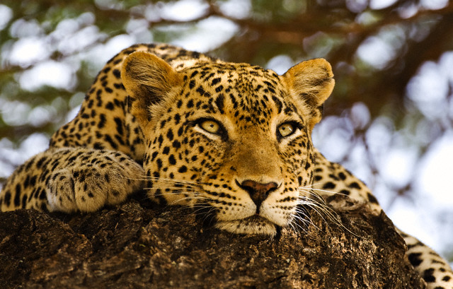 Los Angeles, California, USA --- Leopard on a Rock --- Image by © Scott Stulberg/Corbis