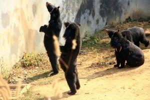 bear sepahijala wildlife sanctuary