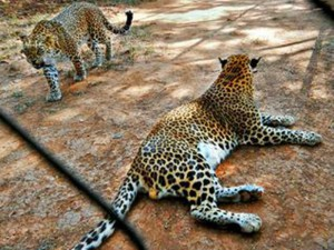 indira gandhi zoological park 2