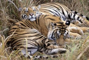 khangchendzonga national park tiger
